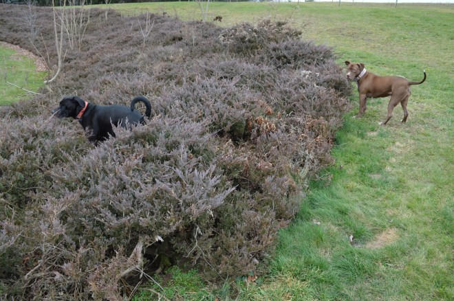 All three pups collaborate for group 'hunting' in the bushes.