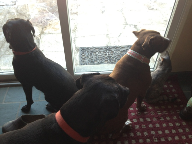 """All four of our """"dogs"""" waiting (patiently?) to go outside."""
