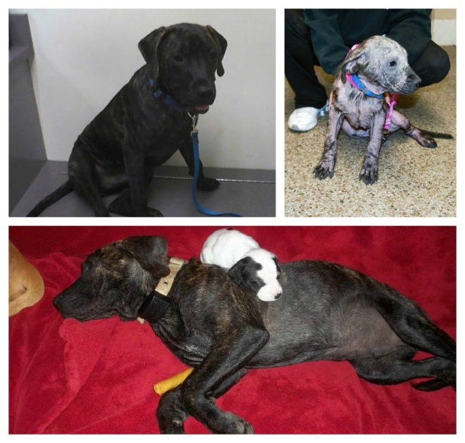 Upper RH corner shows Jake at his first vet visit. The bottom photo is Jake with a real, live puppy! What a gentle guy.
